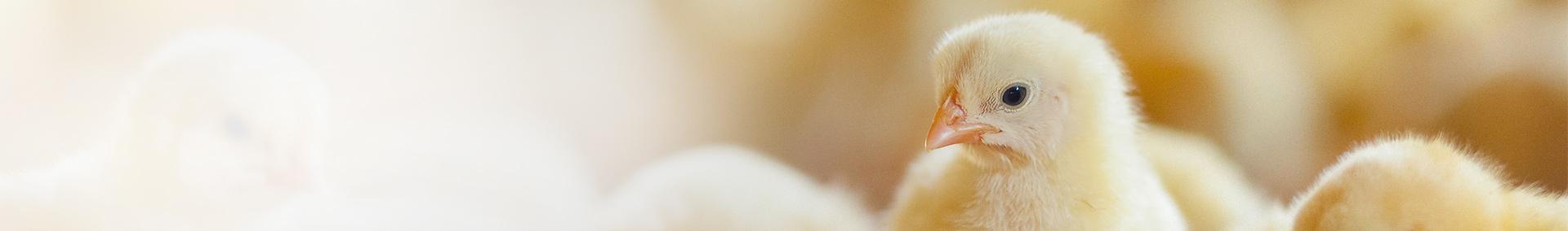 Żółte pisklęta